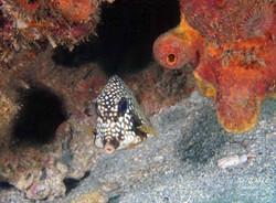 Grenada - trunk fish