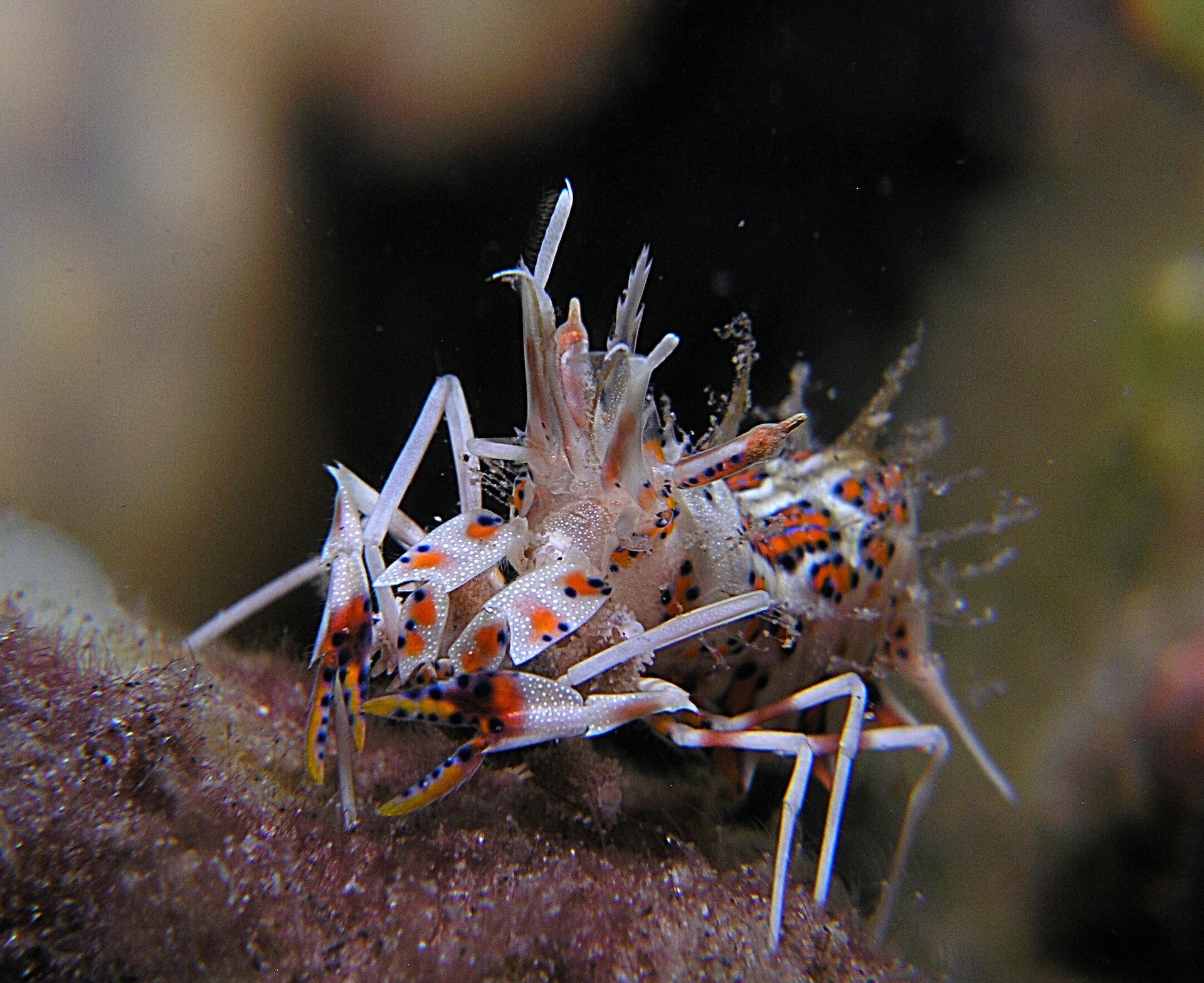 Dumaguete : Spiny tiger shrimp