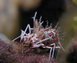 Dumaguete : Spiny tiger shrimp