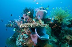Apo Island Corals