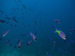 Grenada - Purple Rain dive site