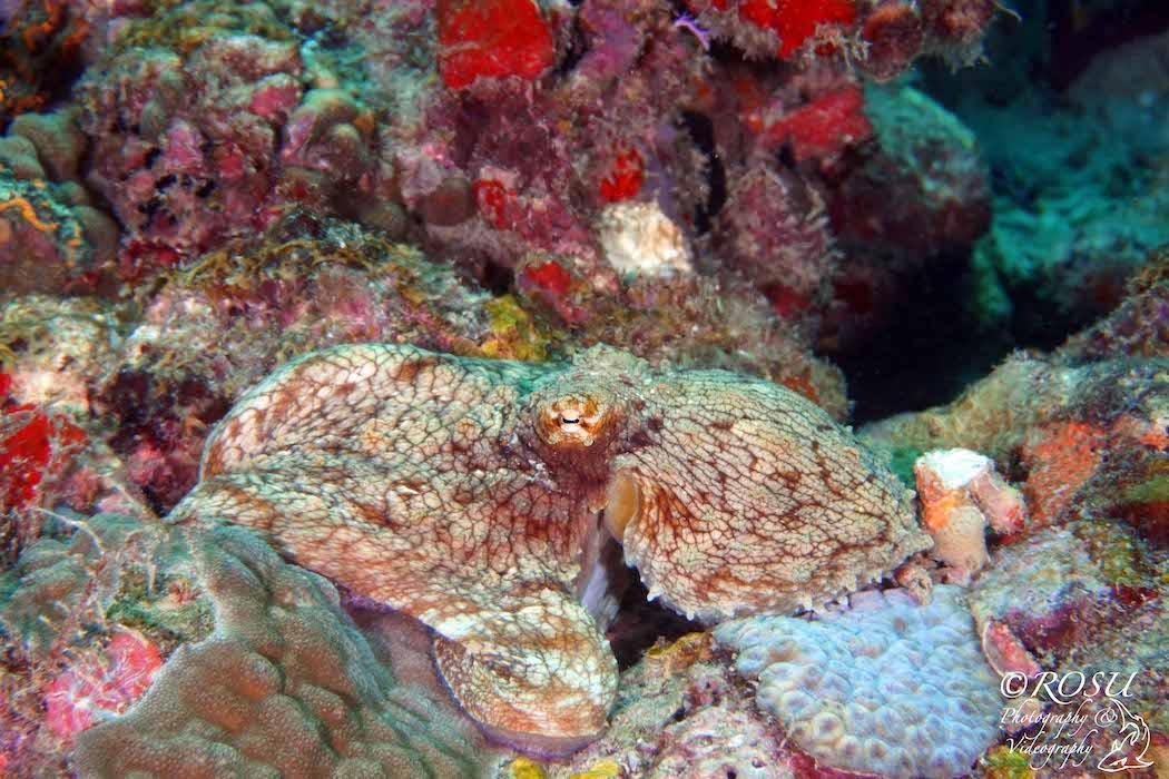 Grenada - octopus