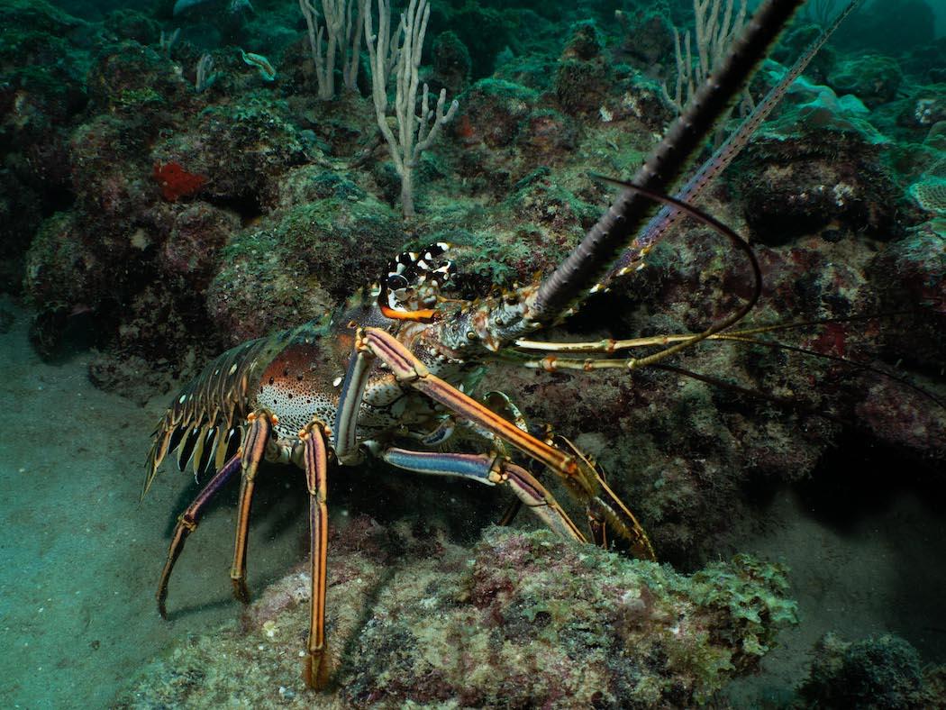 Grenada - lobster