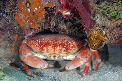 grenada.crab 1050 72.rosu