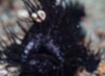 Black hairy frogfish - Atmosphere Resort