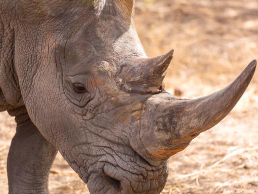 Rhino population increase