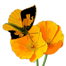 NDM-California-Poppy.png