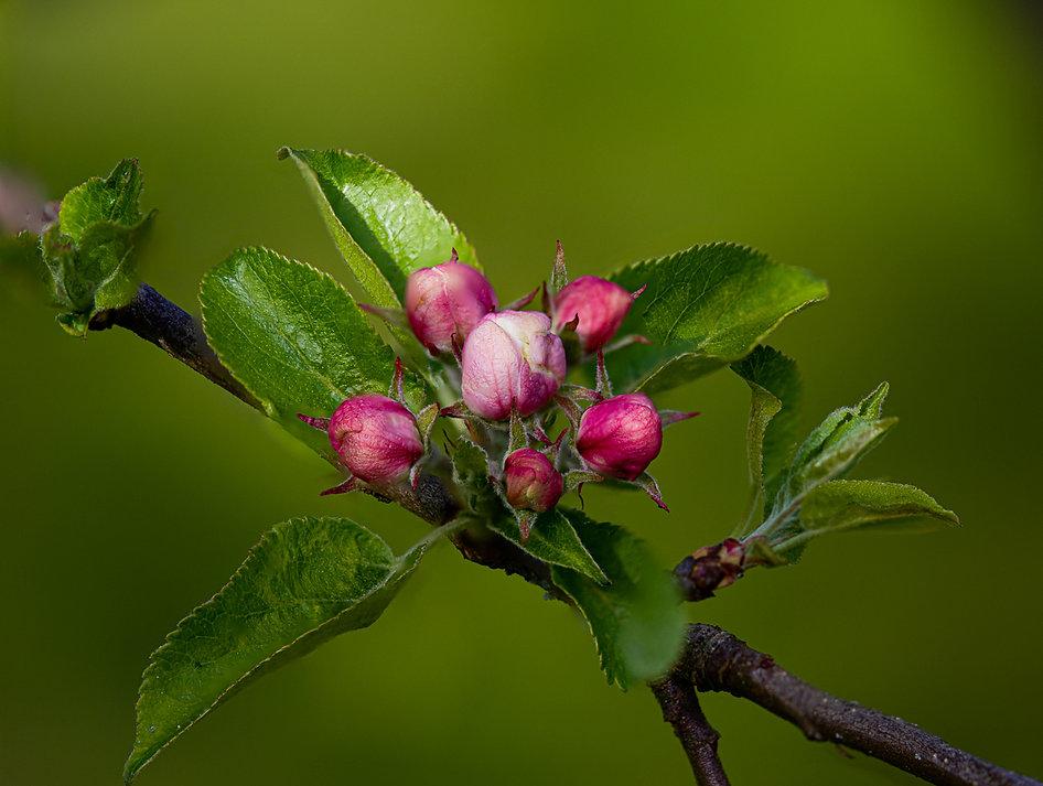 Baby Apples.jpg