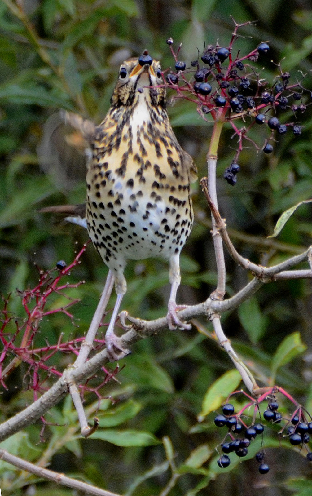 Thrush feeding on berries