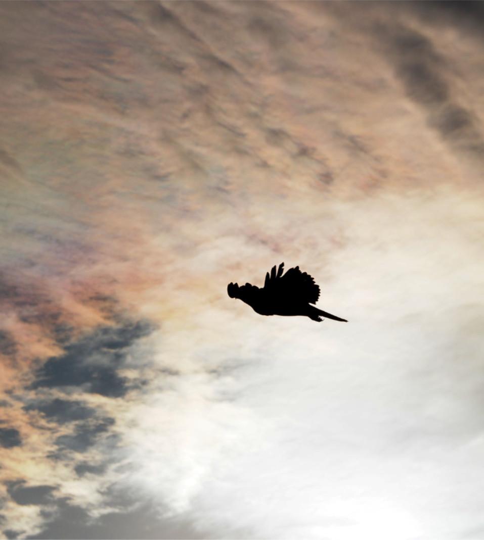 Buzzard in Silhouette