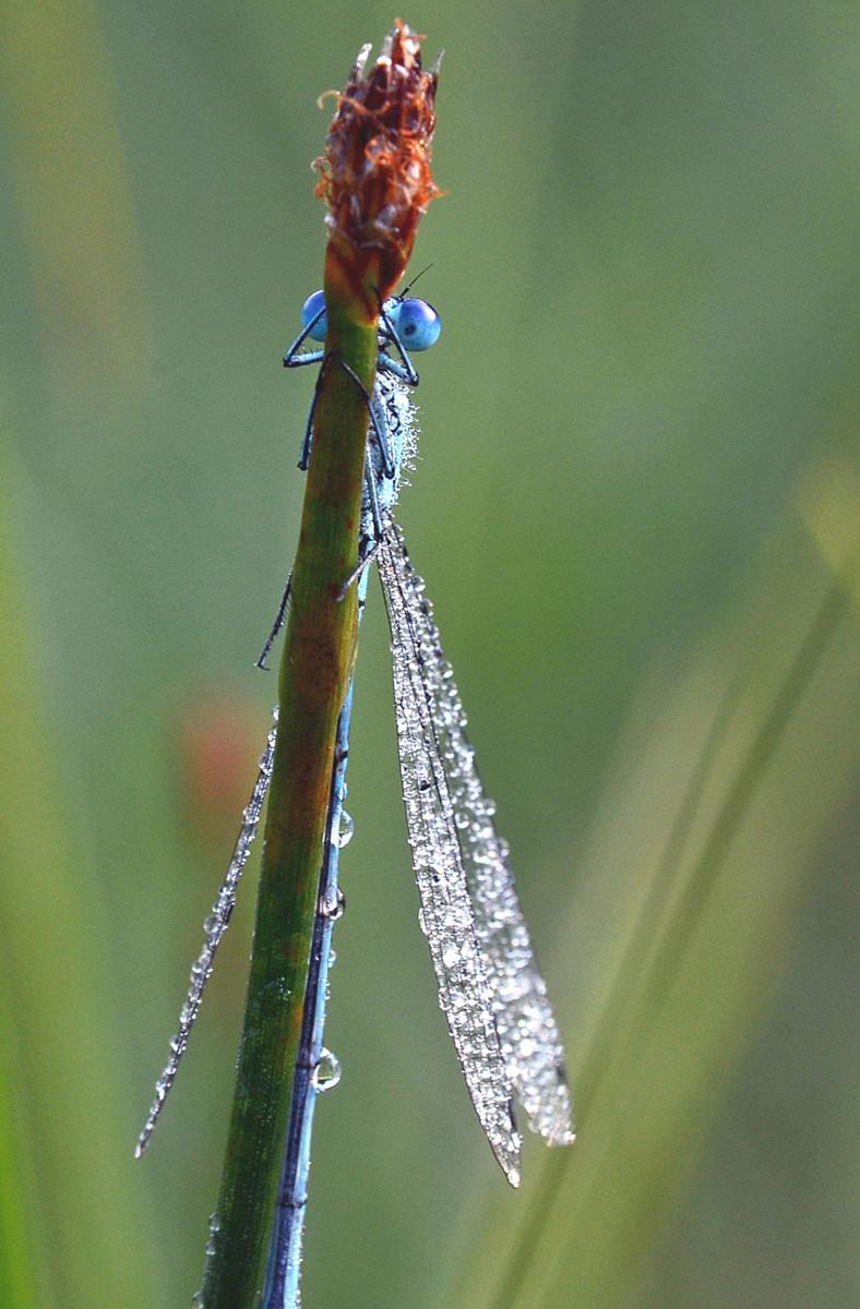Common blue damselfly (Enallagma cyathig)