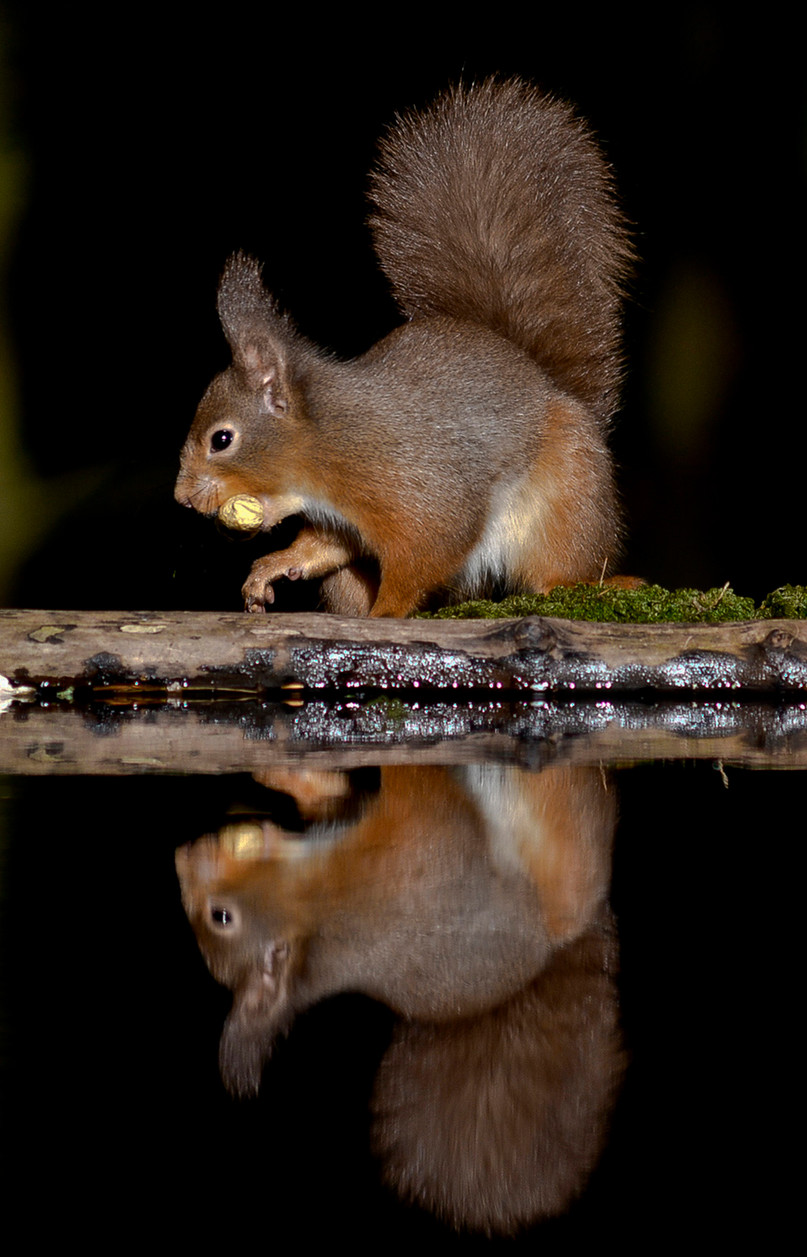 Red Squirrel reflection - B Murphy