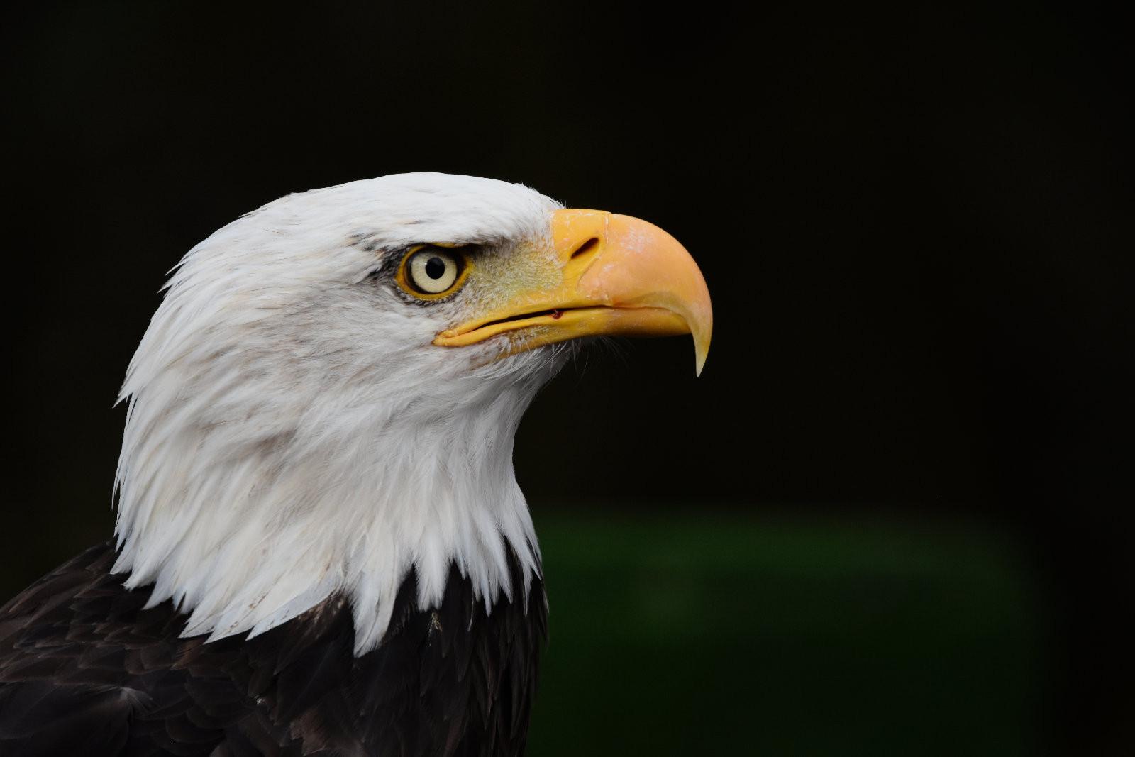 Bald Eagle - W Hiddleston