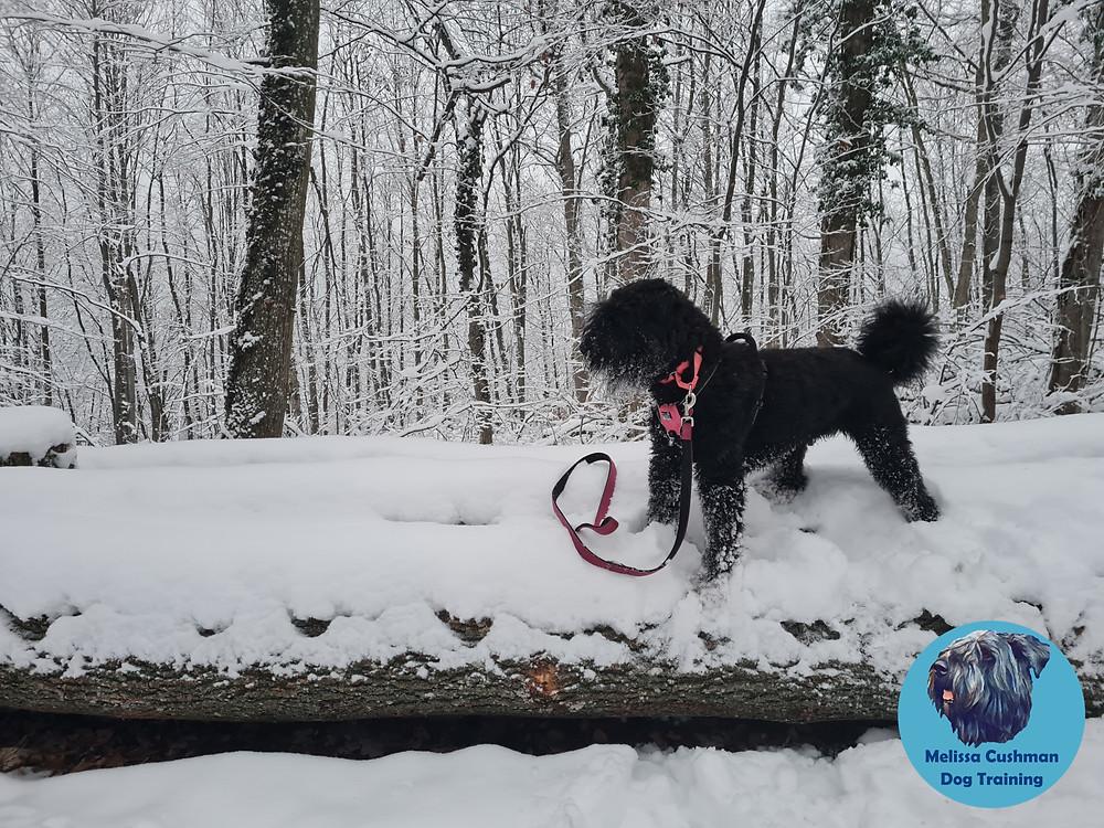 Freya a Bouvier Des Flandres Gluten Detection Service Dog standing on a snow covered log in Stuttgart, Germany