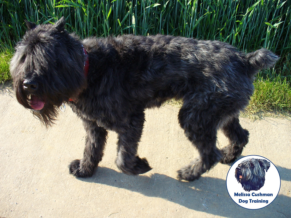Jezabelle a Bouvier Des Flandres heeling off leash while walking through the fields in Germany