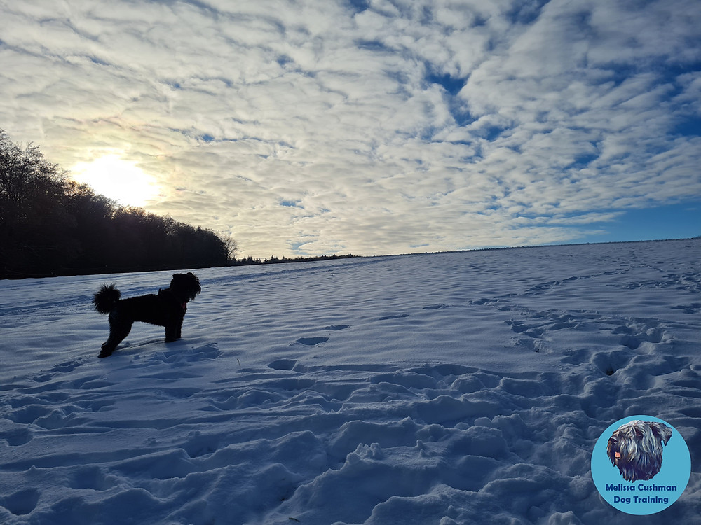 Freya a one year old Bouvier Des Flandres is standing ankle deep in the snow with the sun setting behind her.