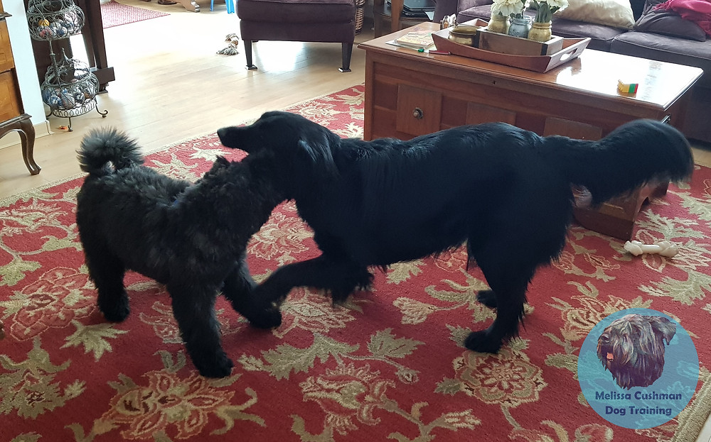 Gunther a Bouvier Des Flandres puppy and Ulysses a medium sized adult dog play on a red carpet.  sized
