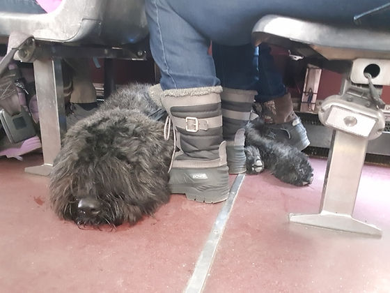 Gunther a bouvier des flandres service dog tucking under a chair on an open air bus.