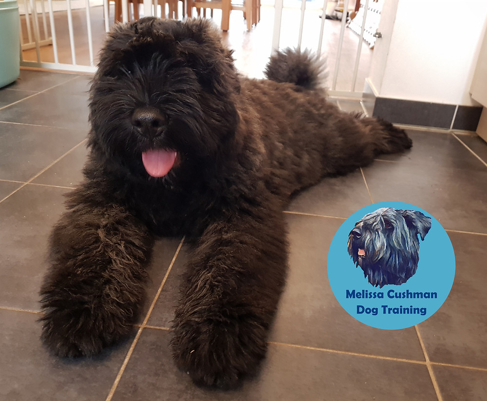 Gunther a Bouvier Des Flandres puppy with natural ears and tail