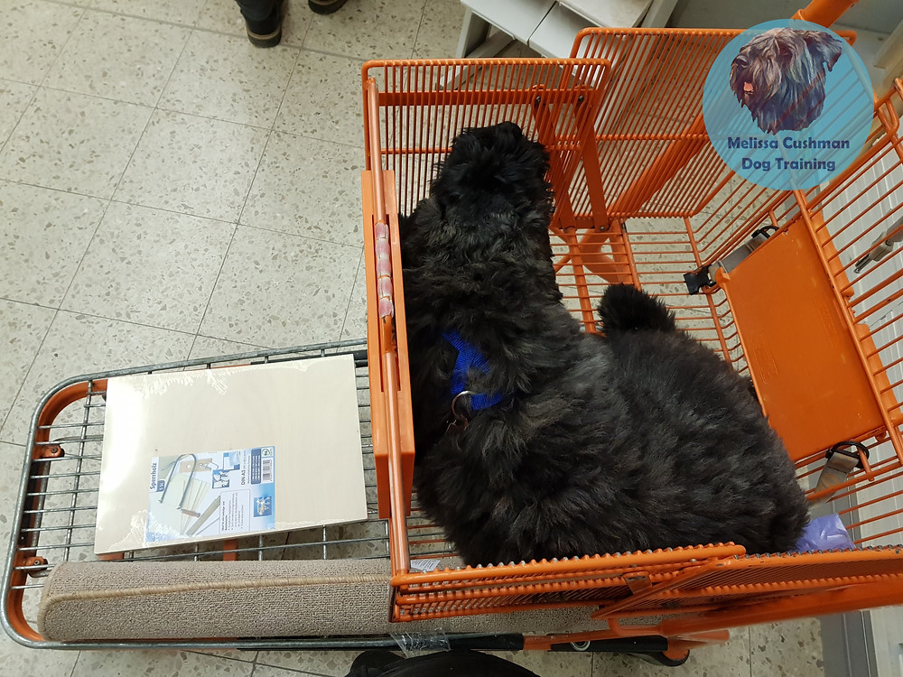 Gunther a Bouvier Des Flandres puppy riding in an orange shopping cart at a hardware store.