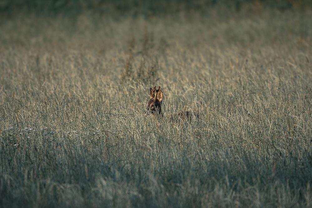 junger Rehbock im Gras, Sigma 150-600mm