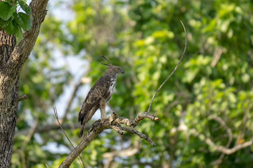 Haubenadler Sri Lanka