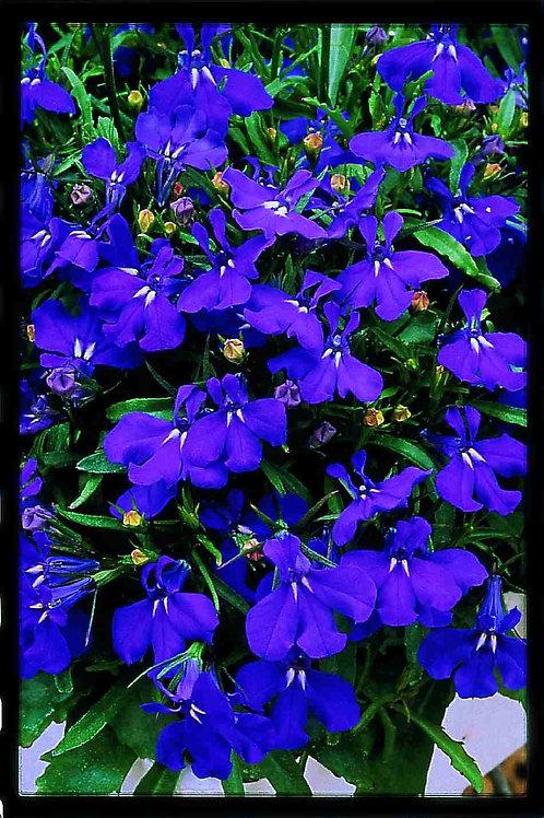 Lobelia Riviera Blue