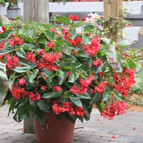 "Begonia Dragon Wing in 4.5"" sq. deep pot"