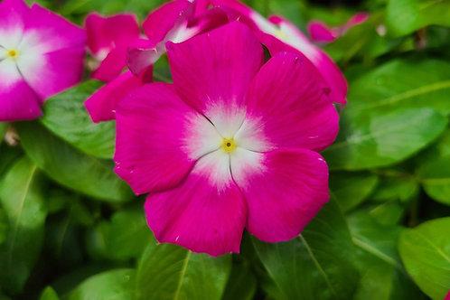 Blooming Vincas (Periwinkles)