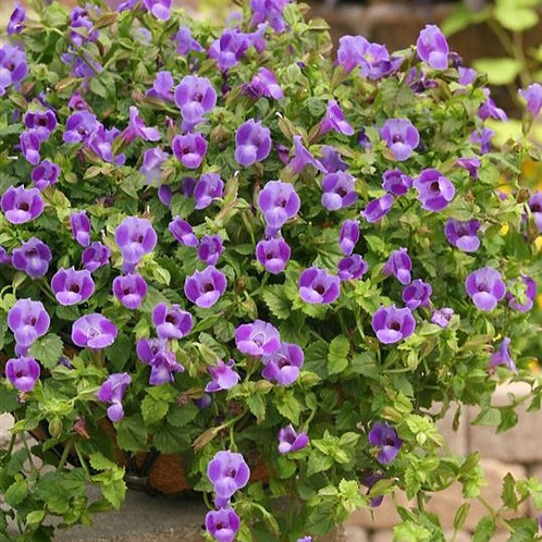 Torenia Summer Wave Large