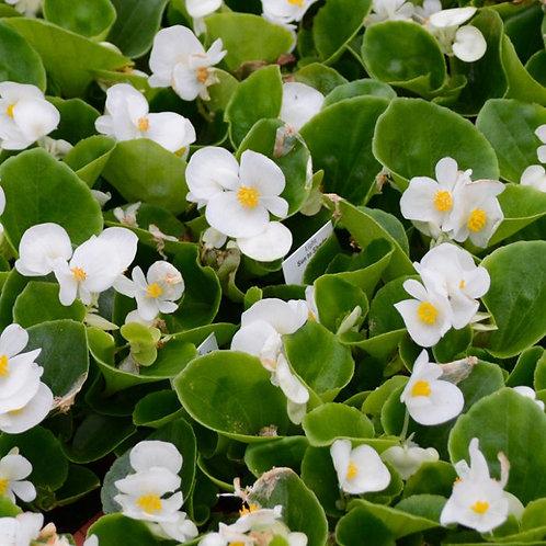 "Begonia, Green Leaf in 4"" pots"