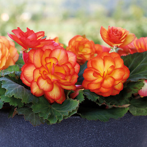 """Begonia Tuberous """"Non-Stop"""""""