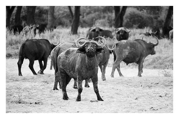 Buffalo Attitude