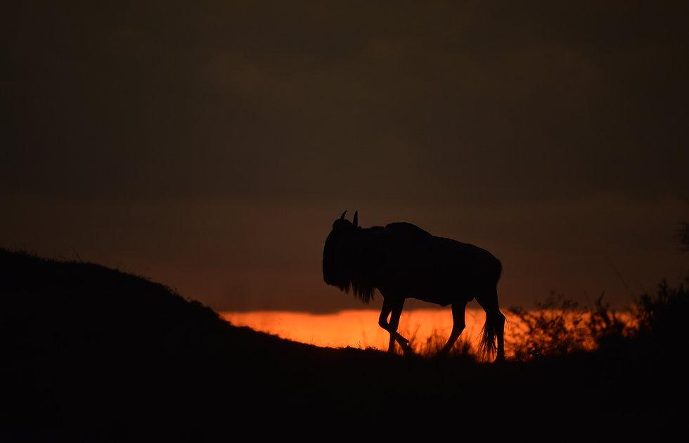 wildebeest at sunset in the Serengeti