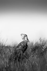 A shoebill in Mabamba Swamp, Uganda