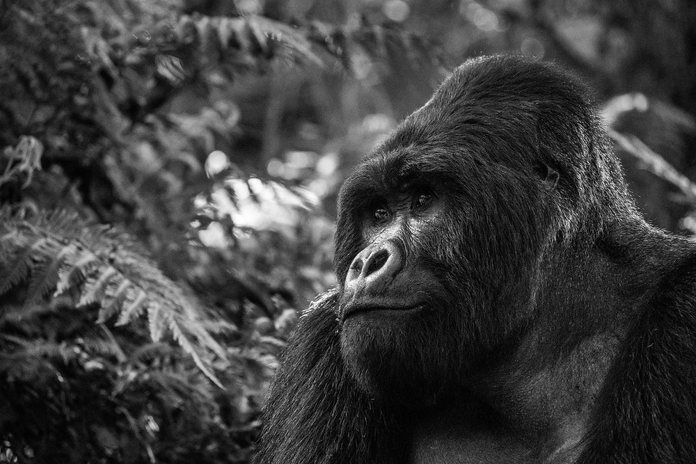 Silverback gorilla portrait, Uganda