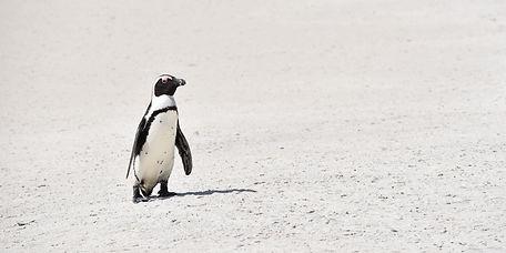 Penguin at Boulder's Beach