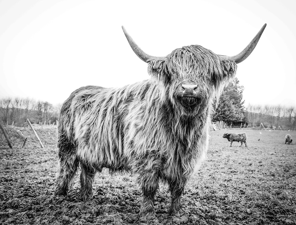 Highland Cow in a field.