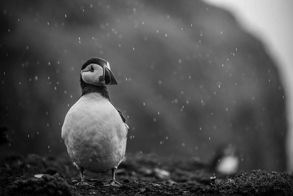 Puffin in the rain on Skomer Island