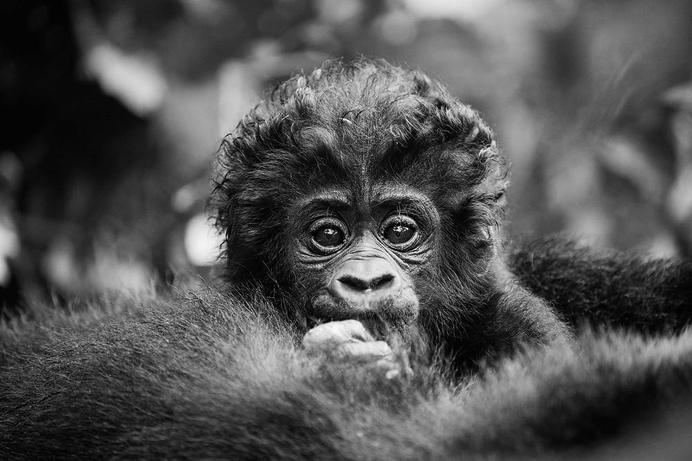 Young gorilla baby in Bwindi