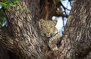 Close up poto of leopard in a tree Kruger National Park