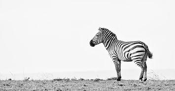 Zebra in the Serengeti