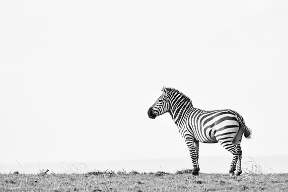 Zebra Simplicity
