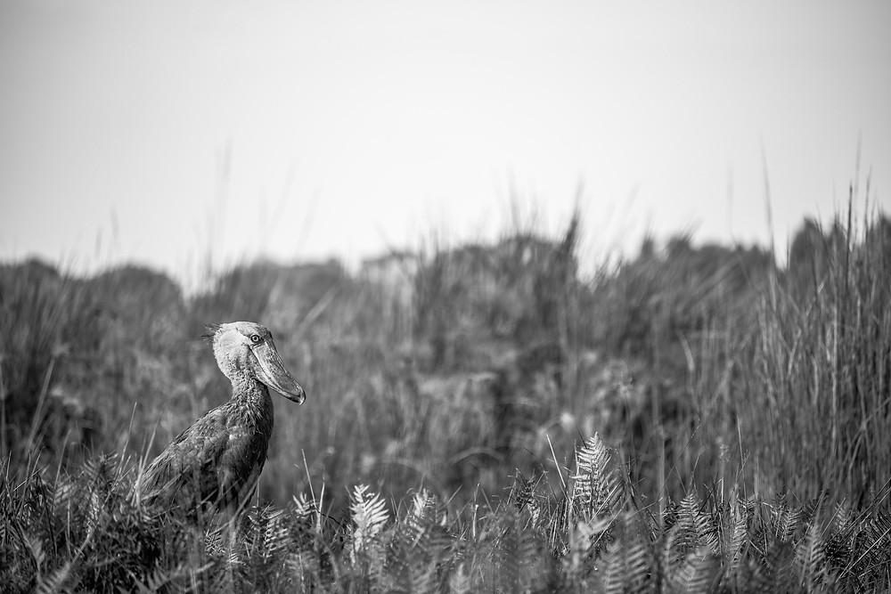 Shoebill in Mabamba Swamp
