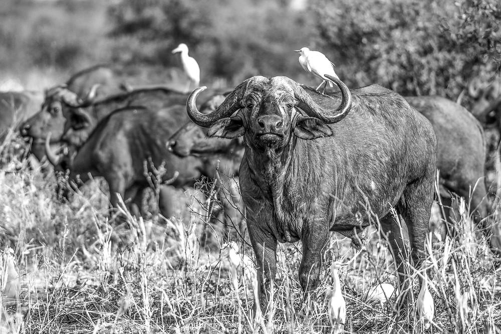 Buffalo in Tarangire