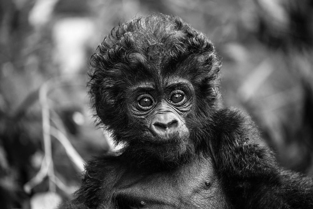 Very young gorilla, Uganda