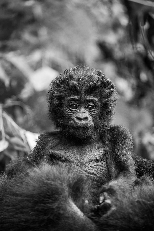 Baby gorilla on mum, Uganda