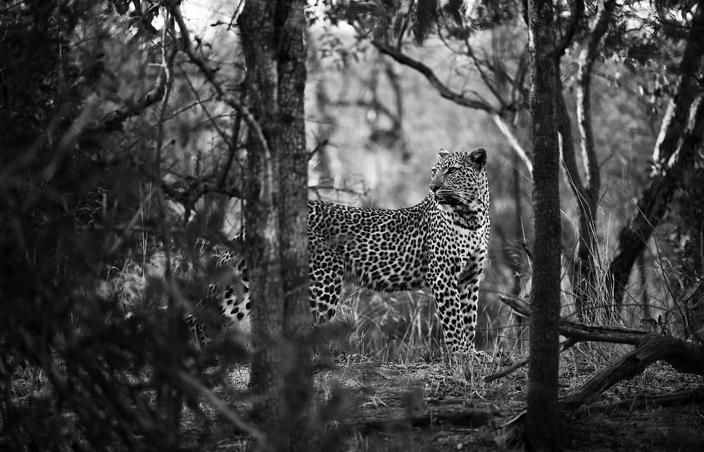 Monochrom Leopard
