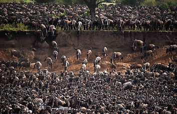 Wildebeest descending to Mara River