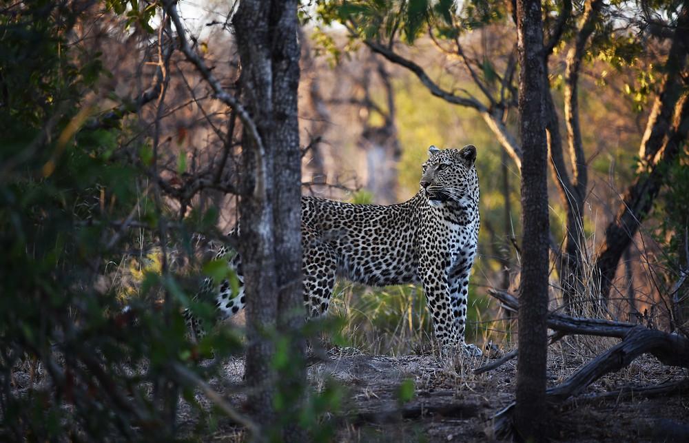 Leopard at Londolozi